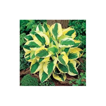 "Hosta ""Brim Cup"" 1,5 l potte"