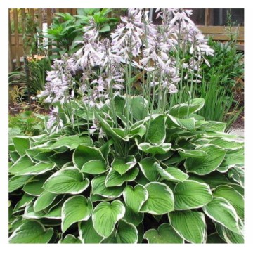 "Hosta ""Francee"" 1,5 L potte"