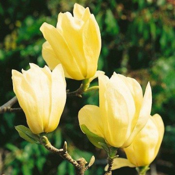 "Magnolia Den ""Yellow River"" 50/60 cm 3L potte"